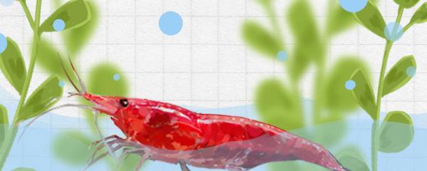 火焰虾怎么养,吃什么