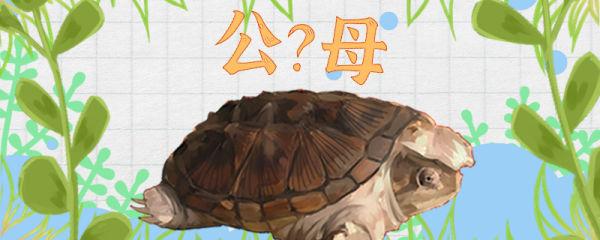 拟鳄龟怎么分辨公母,公母能一起养吗