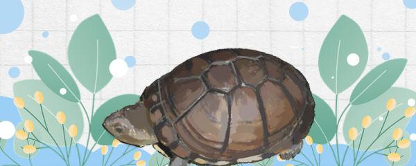 东非侧颈龟的饲养方法是什么,饲养时有什么需要注意的