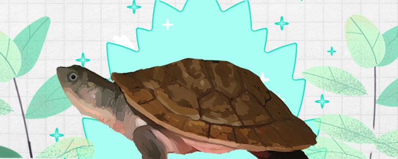红腹短颈龟好养吗,怎么养
