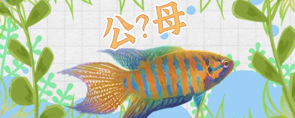 菩萨鱼怎么分公母,公母能一起养吗