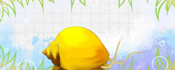 黄金螺能和鱼一起养吗,能和金鱼一起养吗