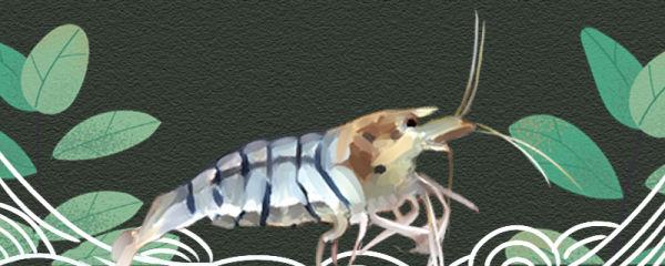 虎纹虾好养吗,怎么养