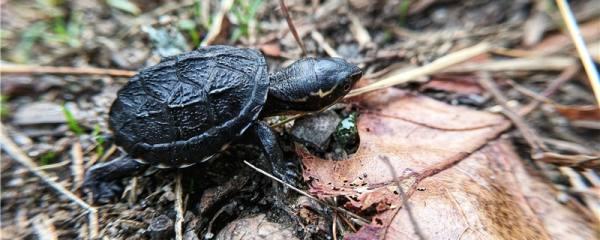 乌龟不想养了能放生吗,乌龟养死了怎么处理