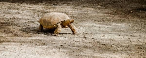 网红七彩小乌龟怎么养,这种龟能养活吗