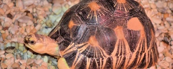 七彩小乌龟对人有害吗,怎么把七彩小乌龟上面东西去掉