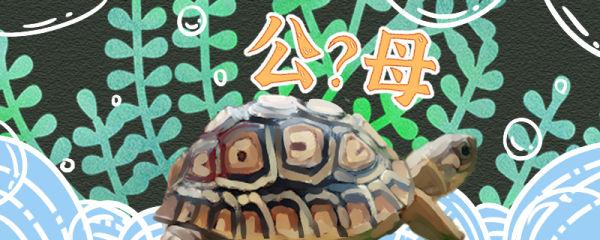 豹纹陆龟怎么分公母,公母能一起养吗