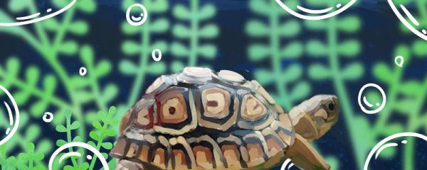 豹纹陆龟好养吗,怎么养