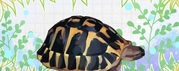 赫曼陆龟好养吗,怎么养长得好