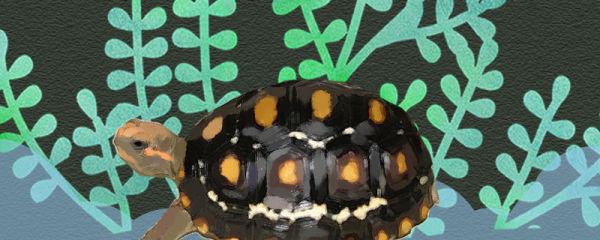 红腿象龟容易饲养吗,怎么饲养