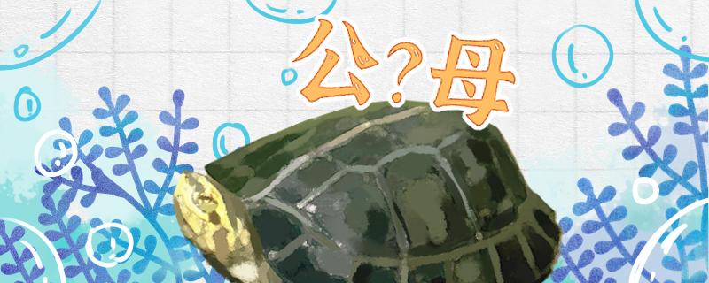 黄头庙龟怎么看公母,公母能一起养吗