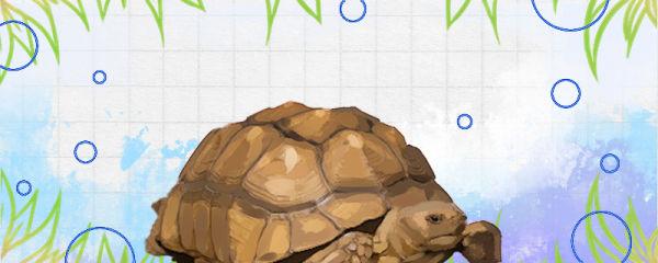 苏卡塔尔龟好养吗,怎么饲养