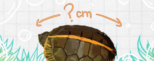 南部锦龟能长多大,能活多久