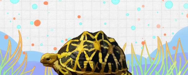 印度星斑陆龟好养吗,怎么养