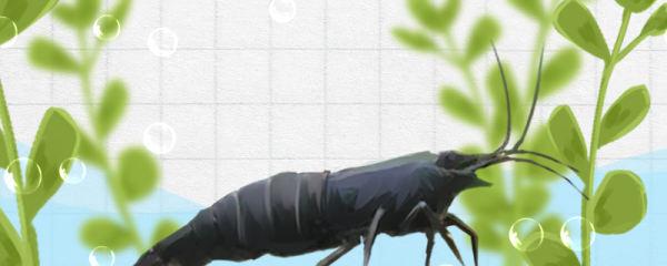 黑壳虾养多久能繁殖,抱卵后多久孵小虾