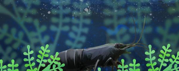 黑壳虾抱卵要生有什么征兆,抱卵多久能生小虾