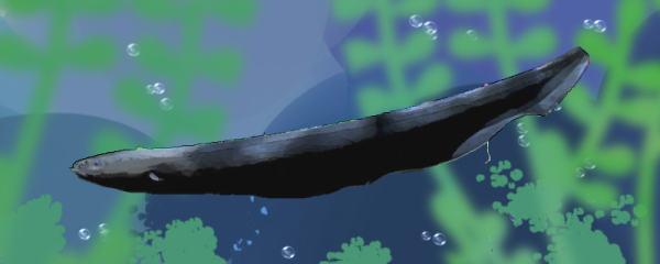 电鳗吃什么,吃清道夫鱼吗