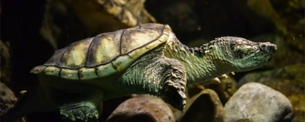 乌龟爱睡觉是怎么回事,乌龟嗜睡的原因有哪些