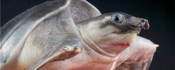 为什么小乌龟的壳会变软,软甲病怎么治