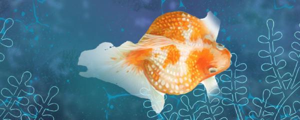 珍珠金鱼为什么总养不活,怎么养不死