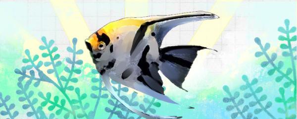 熊猫神仙鱼几个月能产卵,卵多久能孵化