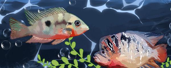 火口鱼和罗汉鱼的区别是什么,能一起养吗