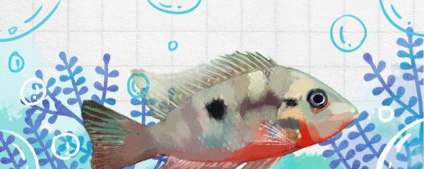 火口鱼和什么鱼混养好,能和鹦鹉鱼混养吗
