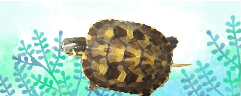 黄腹滑龟吃什么,多久喂一次