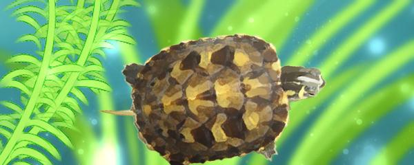 黄腹滑龟好养吗,怎么养