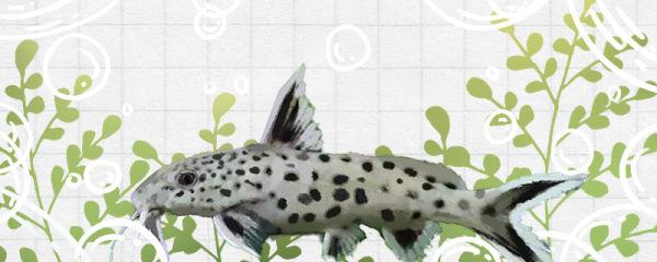反游猫鱼与清道夫有什么区别,能一起养吗