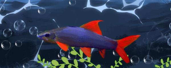 彩虹鲨吃什么,多久喂一次