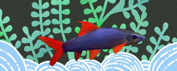 彩虹鲨咬鱼吗,能和别的鱼混养吗