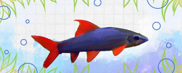 彩虹鲨好养吗,怎么养