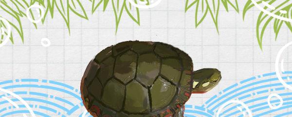 中部锦龟吃什么,多久喂一次