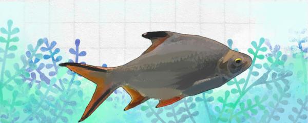 双线鱼能和什么鱼混养,能和龙鱼混养吗