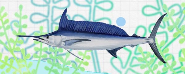 马林鱼和金枪鱼是同一种鱼吗,有什么区别