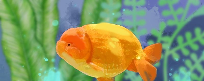 兰寿金鱼用什么水养好,水温多少度最好