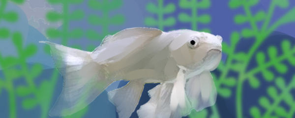 蝴蝶鲤是热水鱼还是冷水鱼,水温多少度最好