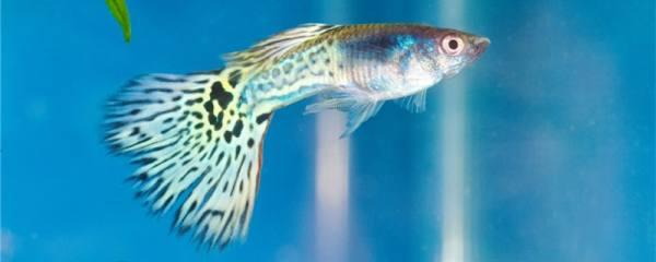 孔雀鱼烧尾是什么原因,怎么治疗