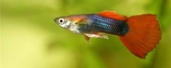 孔雀鱼头朝上竖着游是什么原因,怎么治疗