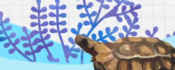 荷叶陆龟好养吗,怎么养