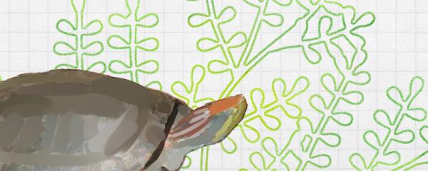 红冠棱背龟好养吗,怎么养
