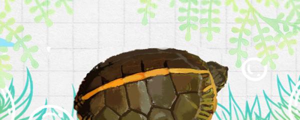 红纹锦龟好养吗,怎么养