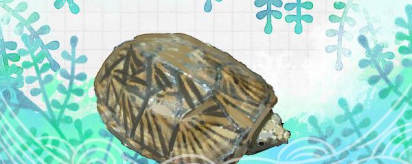 平背麝香龟好养吗,怎么养