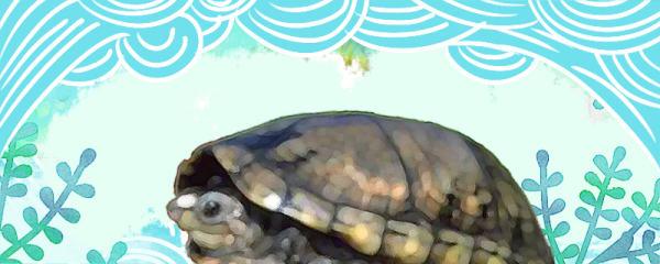 亚马逊泥龟好养吗,怎么养