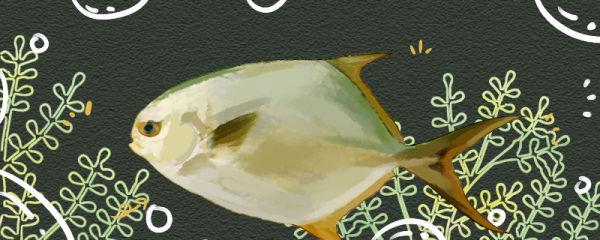 鲳鱼有没有刺,和鲈鱼比哪个刺多