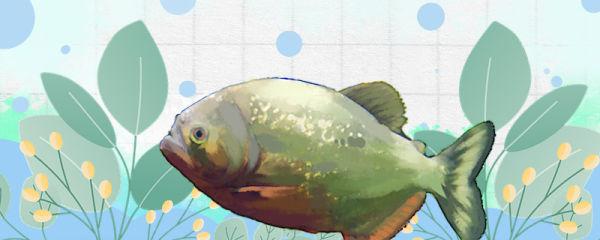 食人鱼是什么鱼,是鲳鱼吗