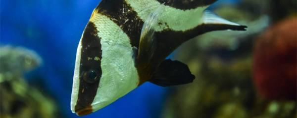 鱼失去平衡还有救吗,鱼失鳔有哪些原因
