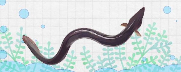 鳗鱼是什么鱼,属于海水鱼吗