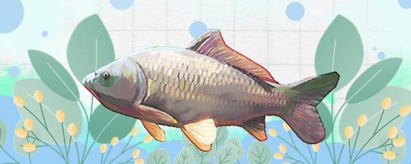 5厘米鲤鱼一年能长多大,喂什么长得快